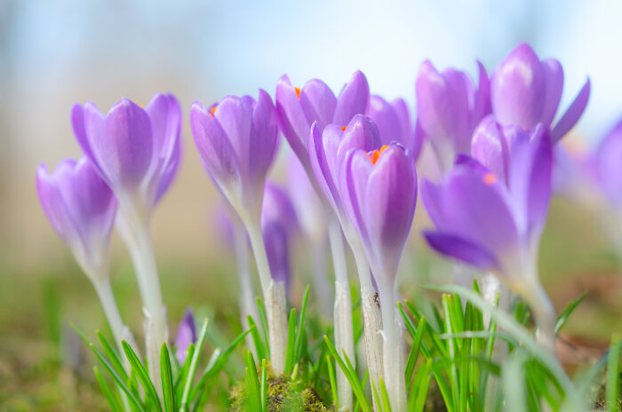 Define Meaning Of Hindi Crocus Flower Meaning - Flower Meaning