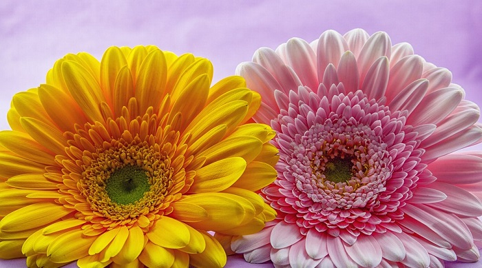 Gerbera Flower Bengali Meaning Gerbera Flower – Meaning, Symbolism And Colors