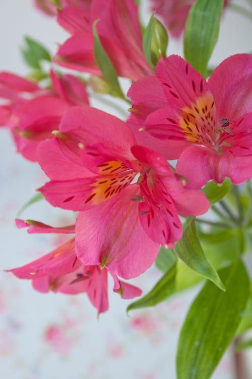 Alstroemeria : A Long-Lasting Cut Flower | Flowerona