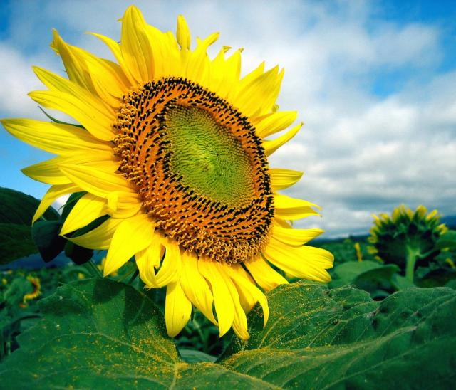 Big Size Wallpapers With Quotes Beautiful Big Sunflower Jpg 1 Comment Hi Res 720p Hd