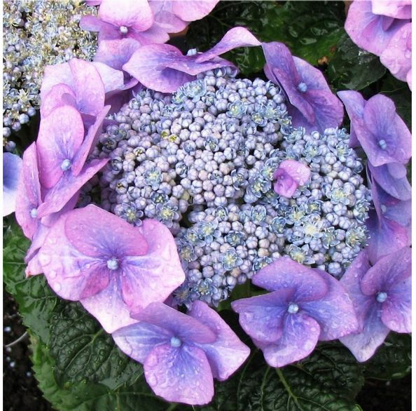 Hydrangea Flower Color Close Up Photo Of Purple Hydrangea Flower.jpg