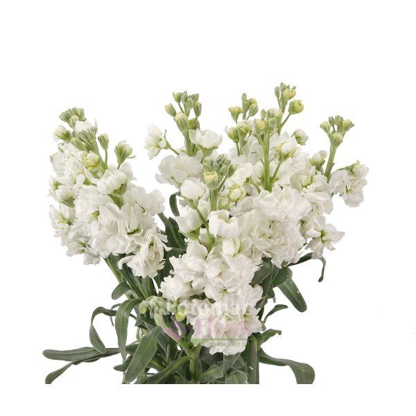 Stock White Potomac Floral Wholesale