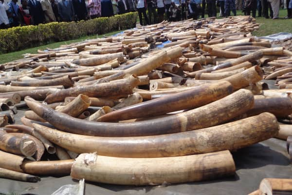 Ivory stock seized in Lome, Togo.
