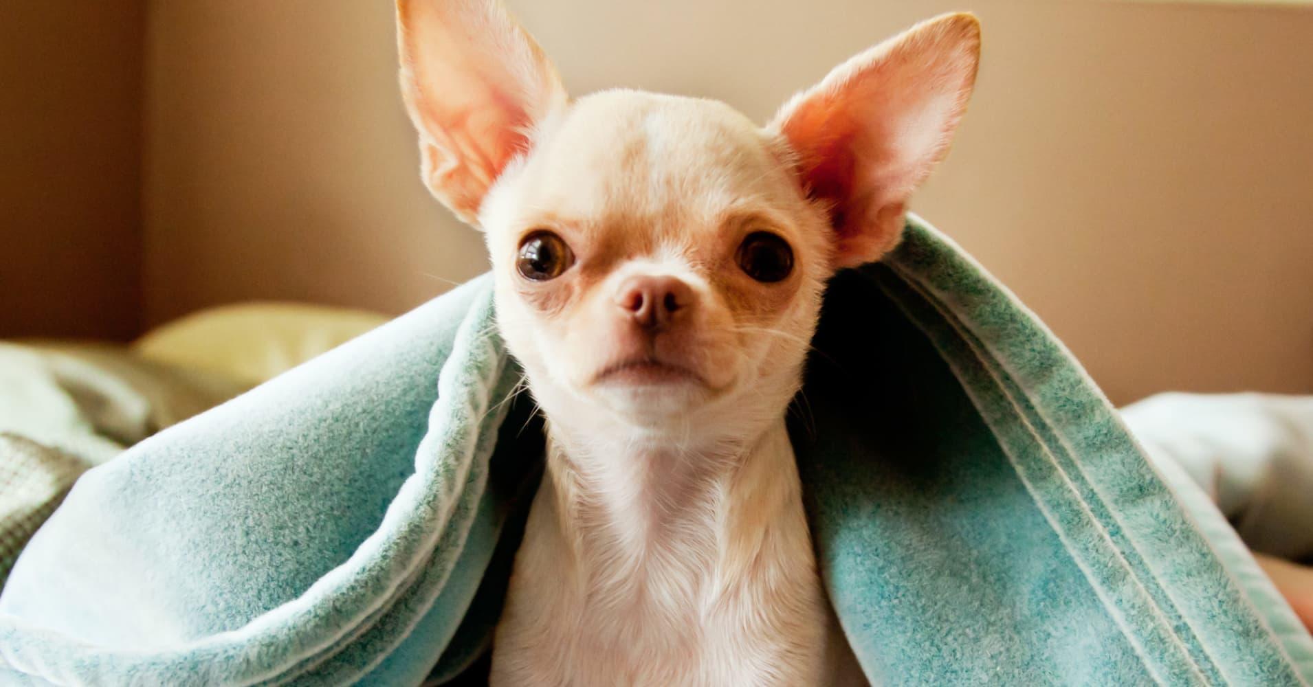 Fullsize Of Chihuahua Life Span