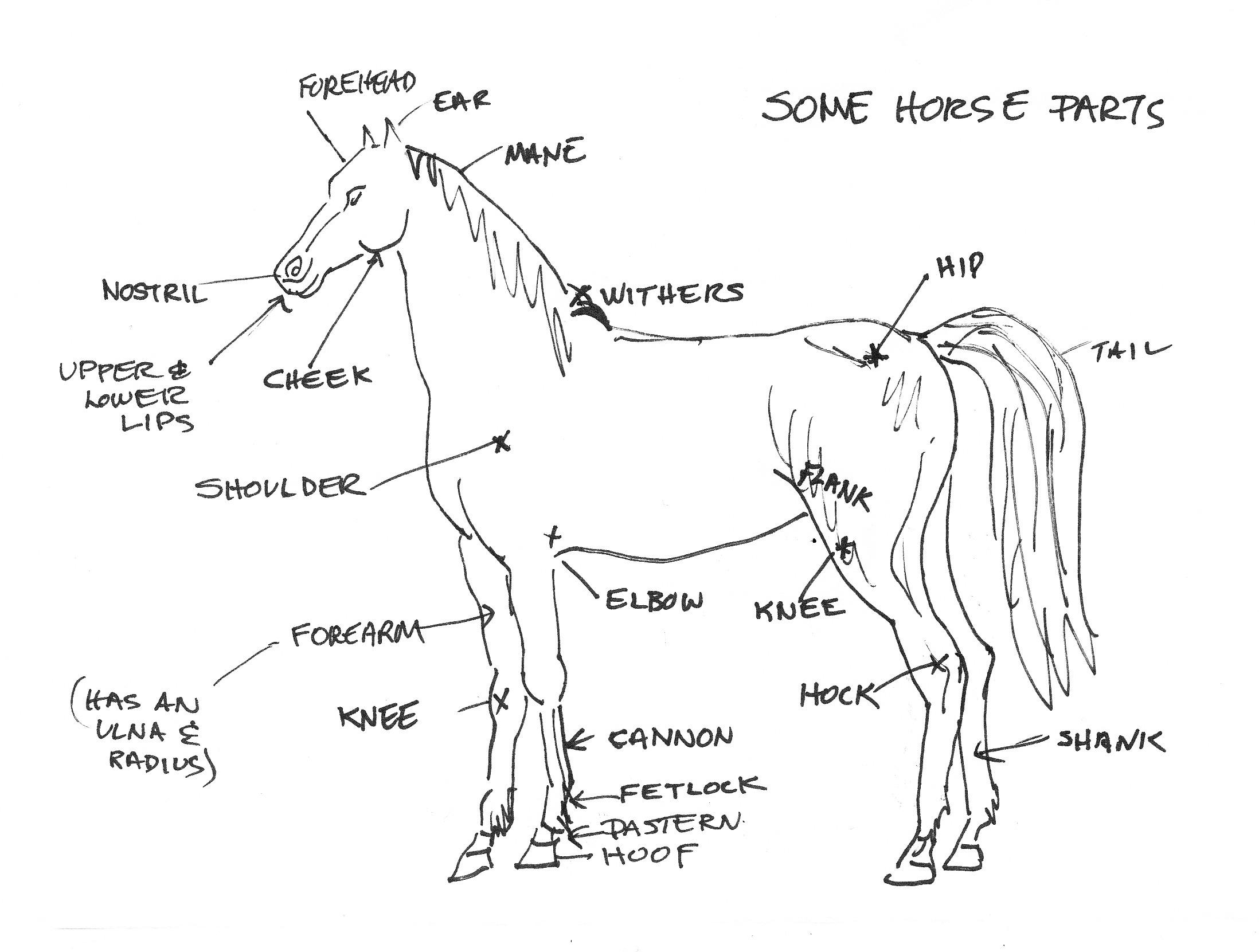 diagram of horses body parts wiring diagram schematic