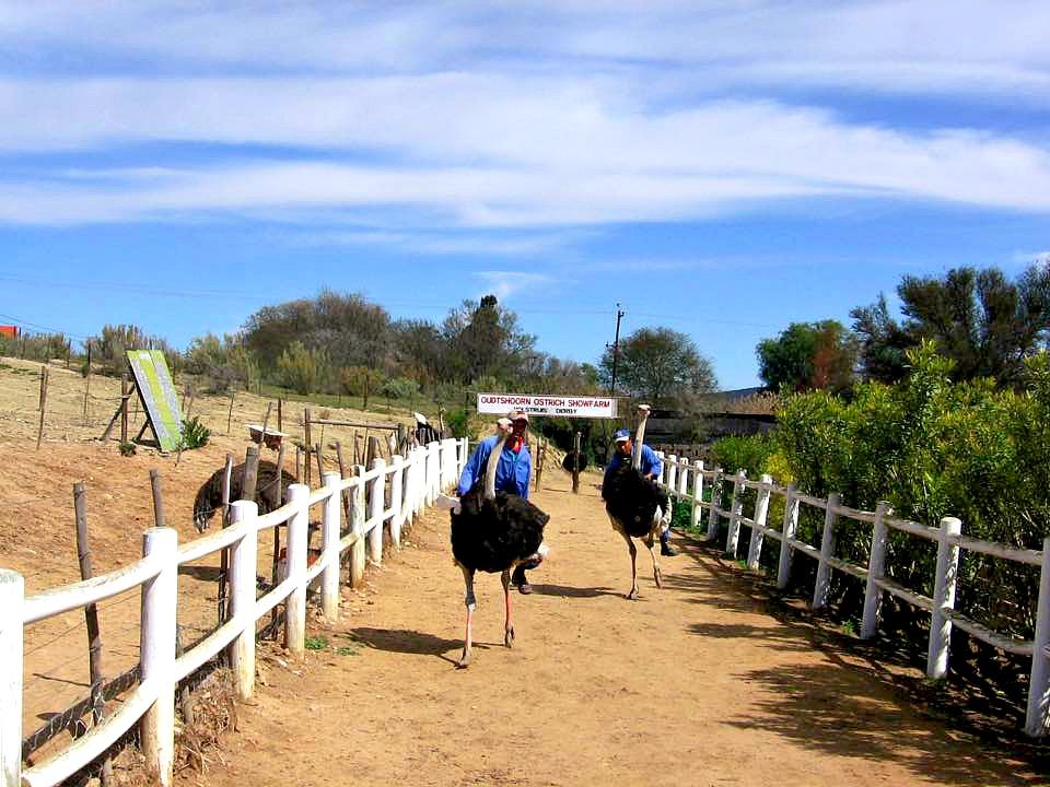 blog-followtheworld-südafrika-straußen
