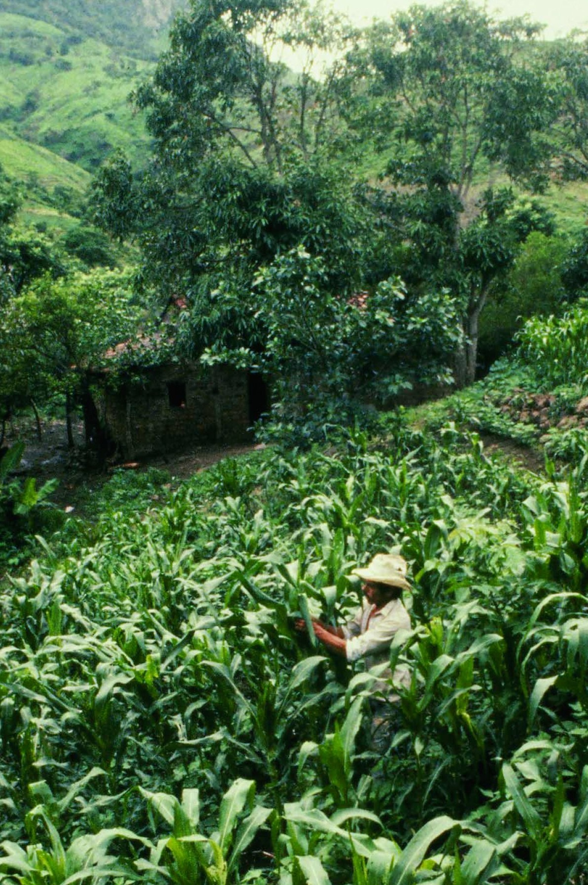 Sustainable Farmer Campesino A Campesino Voices From Latin America S Farmer To