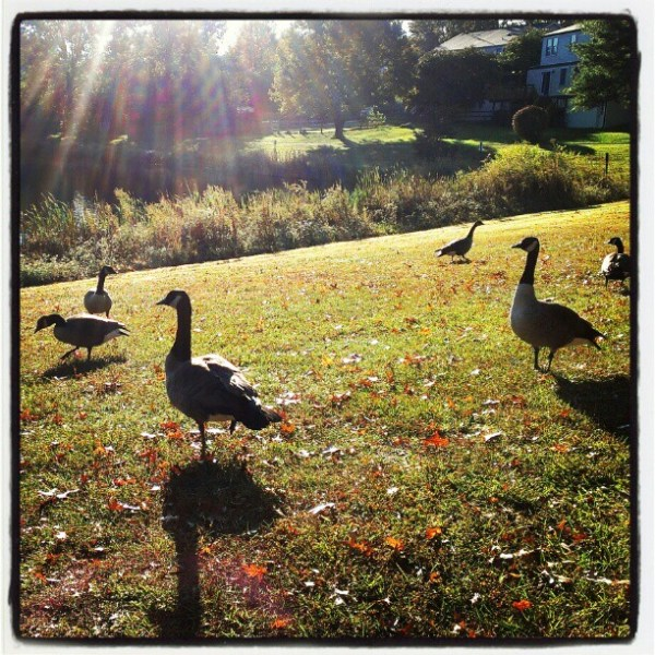 geese in the sun