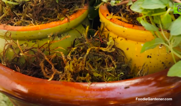 Add-Sphagnum-moss-to-container-garden-foodie-gardener