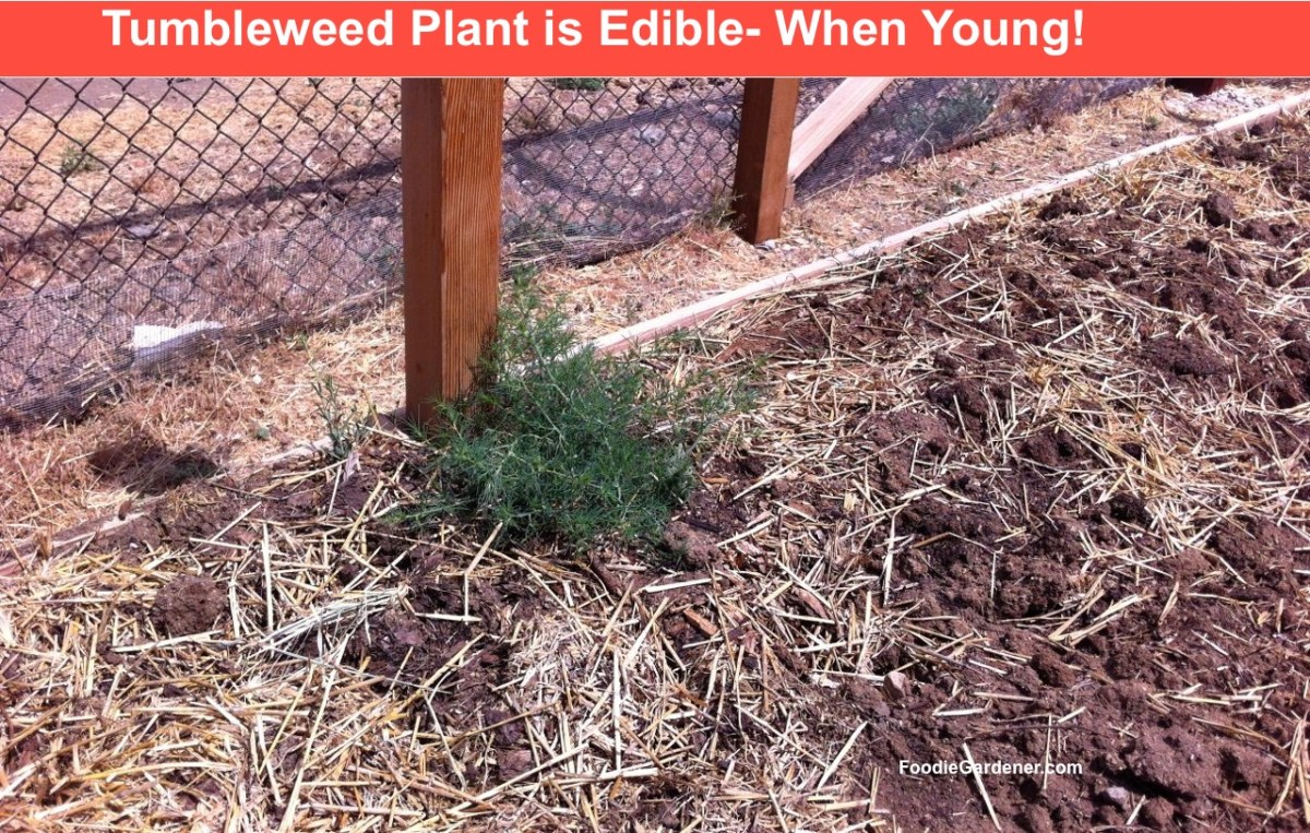 Tumbleweed is Edible! Spinach Alternative