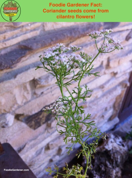 Coriander seeds from cilantro flowers foodie gardener fact