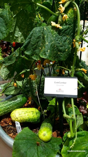 Cute cucumber by burpee home gardens compact bush full size cucumber foodie gardener