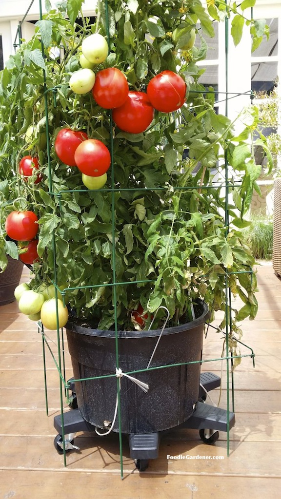 super sauce tomato variety by burpee home gardens with large tomatoes container on casters foodie gardener