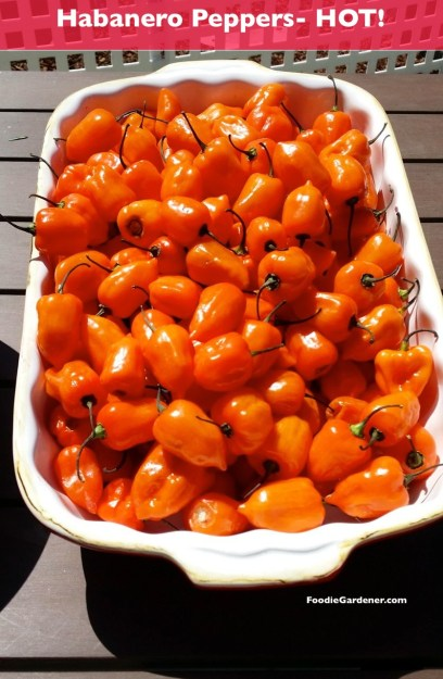fresh habanero peppers extra hot pepper foodiegardener