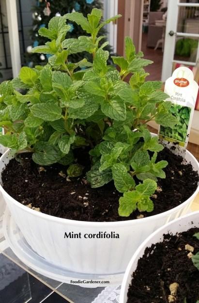 MINT CORDIFOLIA WHITE PLANTERS FOODIE GARDENER BLOG