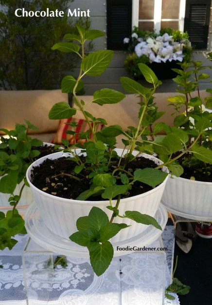 chocolate mint plant mentha piperita white container foodie gardener blog