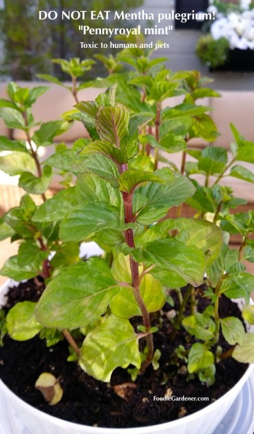mentha pulegrium pennyroyal mint plant do not eat toxic humans pets foodie gardener blog