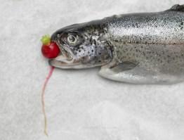 11 03 5 raibow trout (37) FP