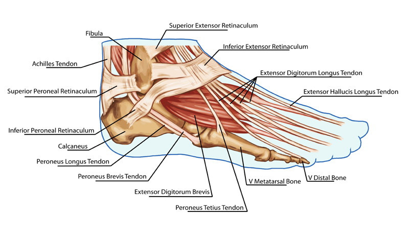 Foot Anatomy - Foot First Podiatry