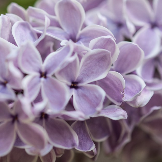 lilac for blog 3-1