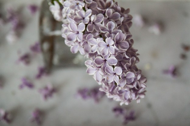 lilac for blog 9-1