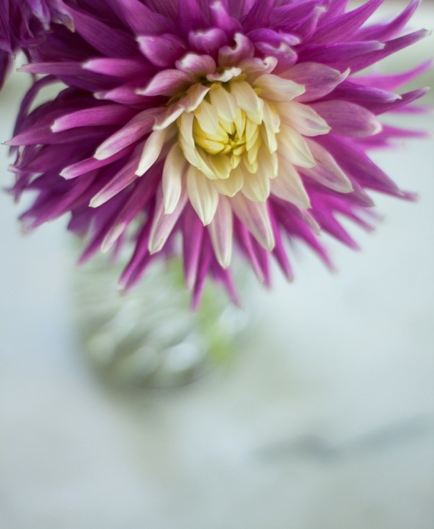 Week 5-52 purple dahlia-1