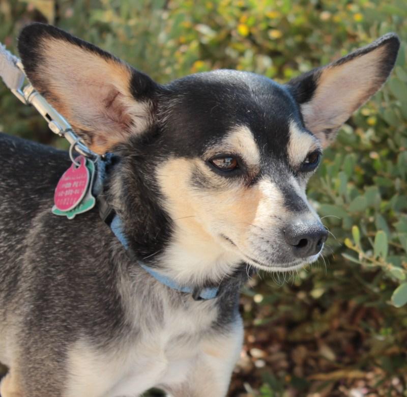Large Of Chihuahua Corgi Mix