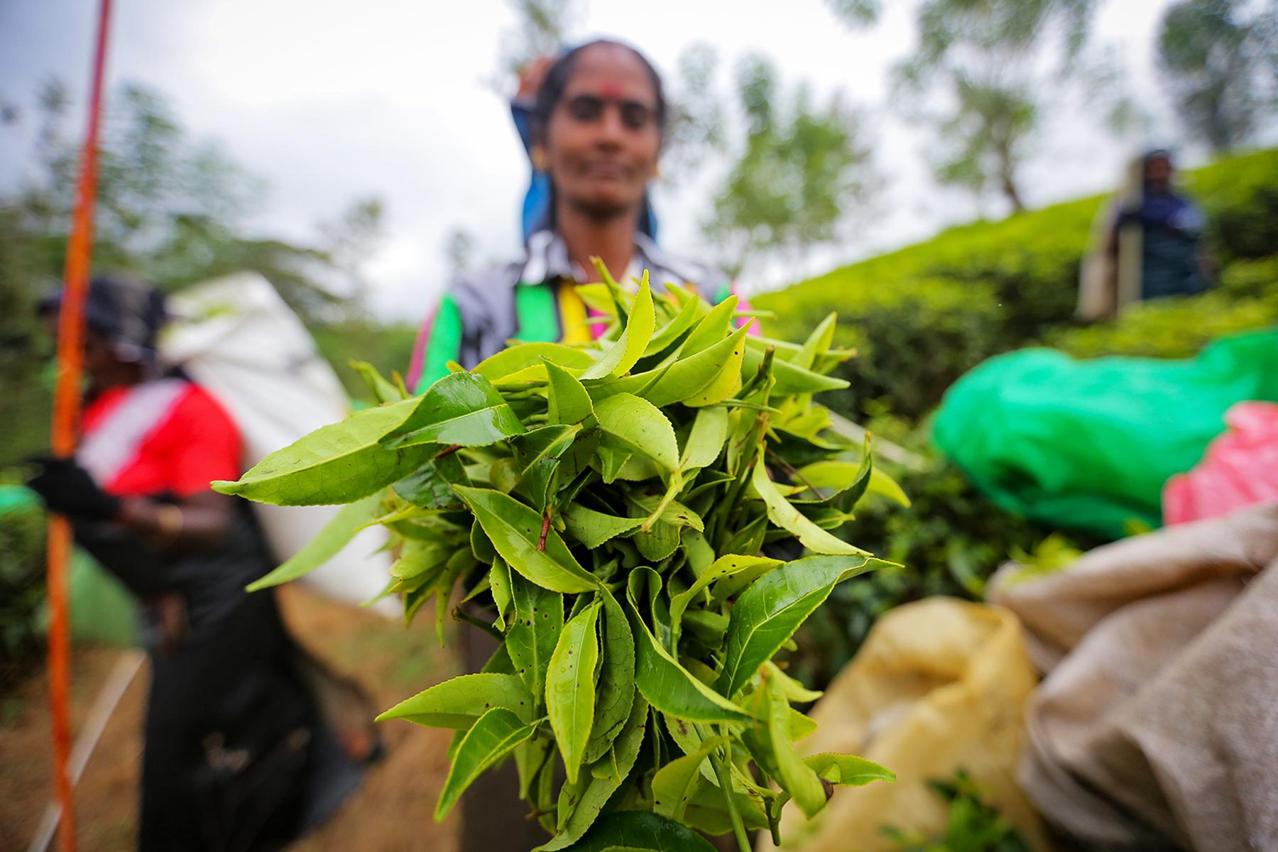 A tea plantation worker shows off plucked tea leaves in the Nuwara Eliya district of Sri Lanka on Feb. 5.