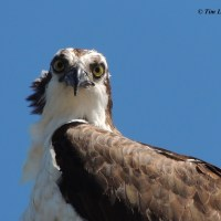 Osprey Baby Picture!