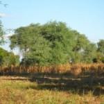 Faidherbia-in-maize-Bwanje-Valley-Malawi-300x225-2