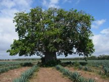 Latest Agroforestry Species Switchboard offers additional plant databases