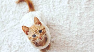 Having a Pet Cat as a Family Pet - Cute Pictures of Kitties