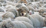 lobo con piel de cordero