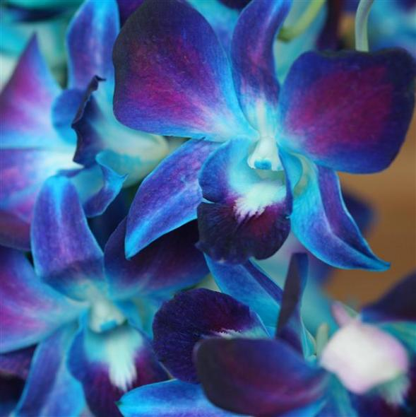 Dendrobium orchids For the Fun of Fit