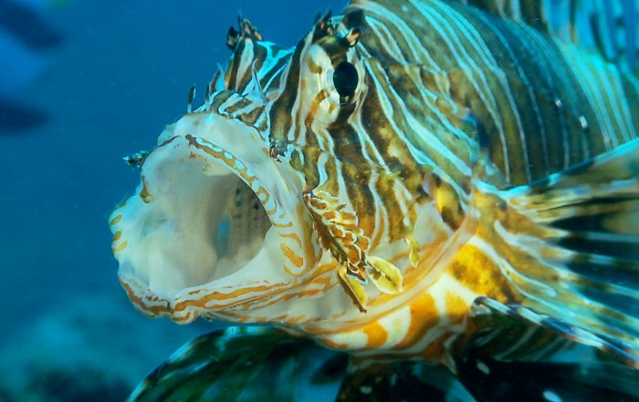 Lionfish for post