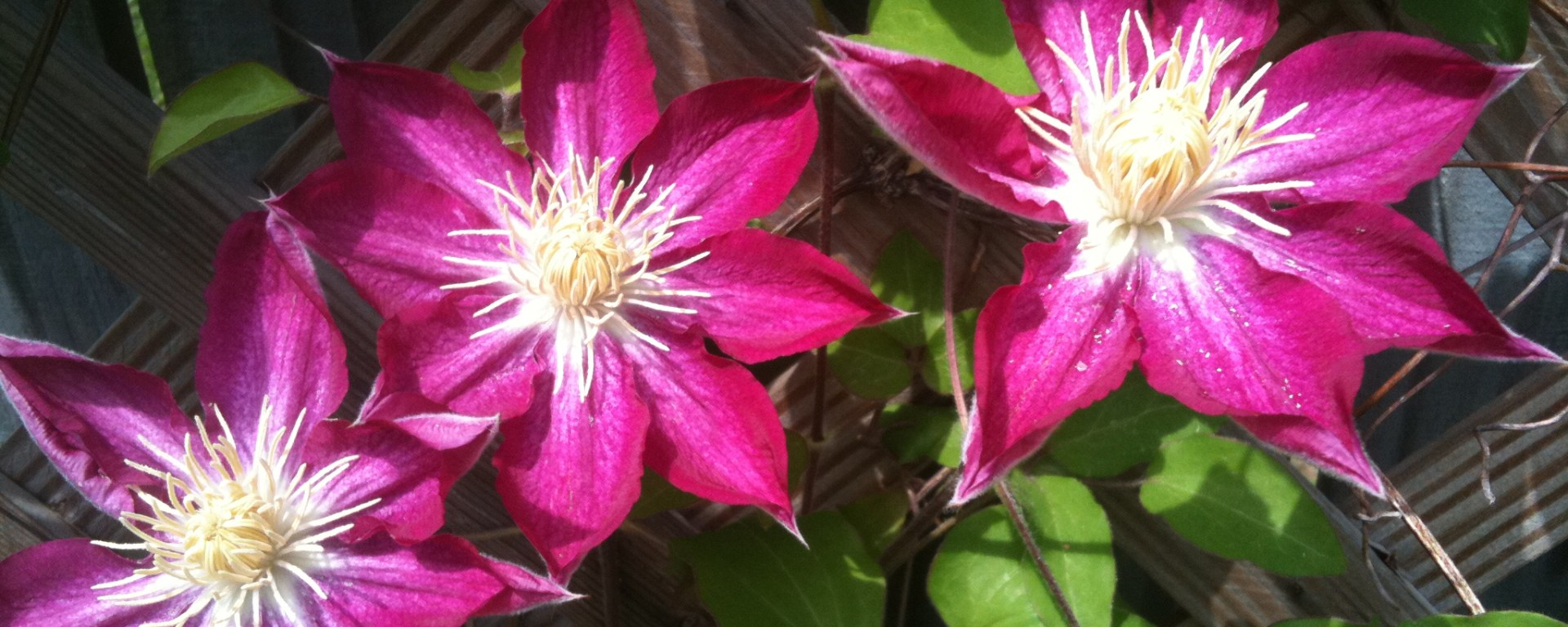 fireworks clematis