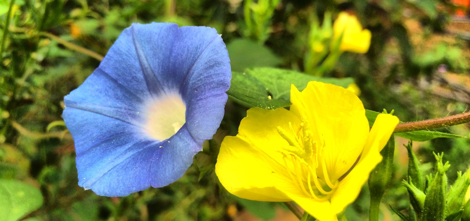 morning glory evening primrose
