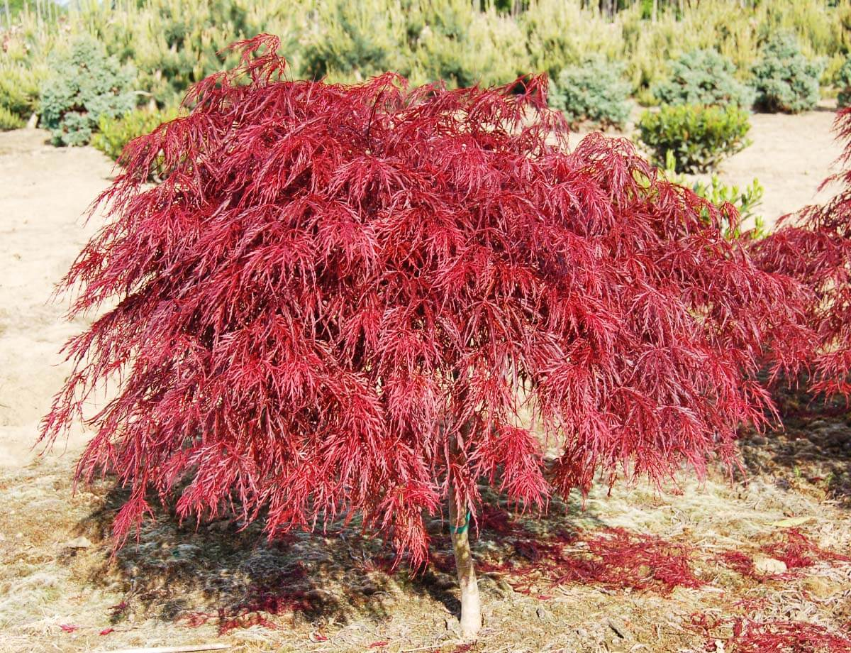 Queen Size Taille Crimson Queen Japanese Maple | | Fort Wayne Trees