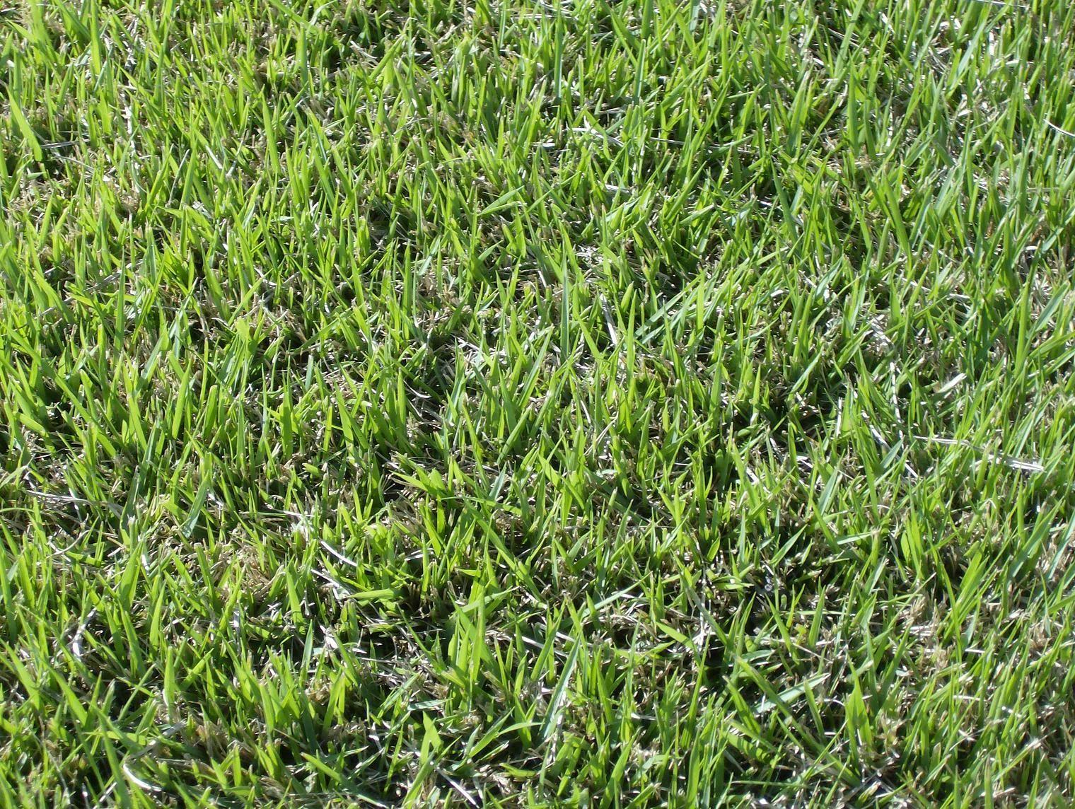 Fullsize Of Centipede Grass Seed