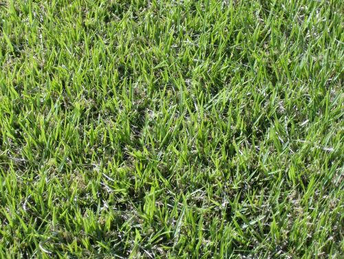 Medium Of Centipede Grass Seed