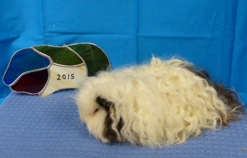 Large Of Guinea Pig Forum