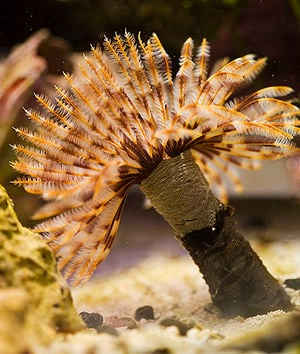 Feather Duster Questions | Saltwaterfish Forum