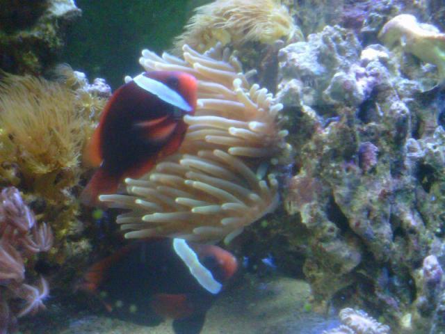 Bubble tip Anemone question | Saltwaterfish Forum