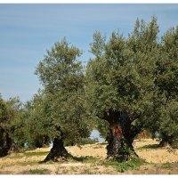 Cómo controlar plagas, enfermedades y malezas en olivos