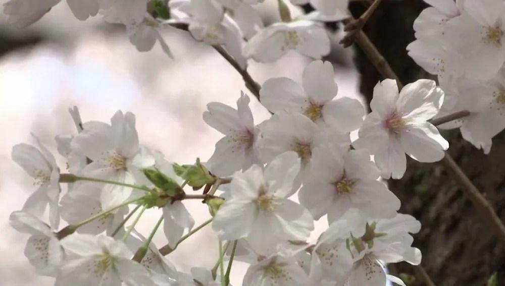 ANTENA 3 TV Las flores de cerezo tiñen de rosa a Tokio en su
