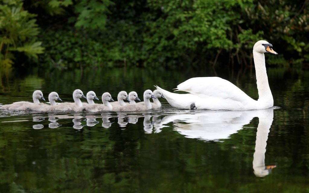 Cute Trumpet Wallpapers 12 Cisnes Hd Wallpapers Lanaturaleza Es