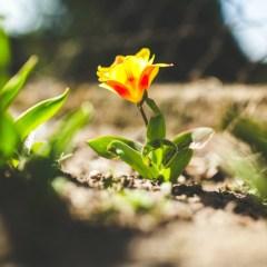 kaboompics.com_Yellow tulip in spring