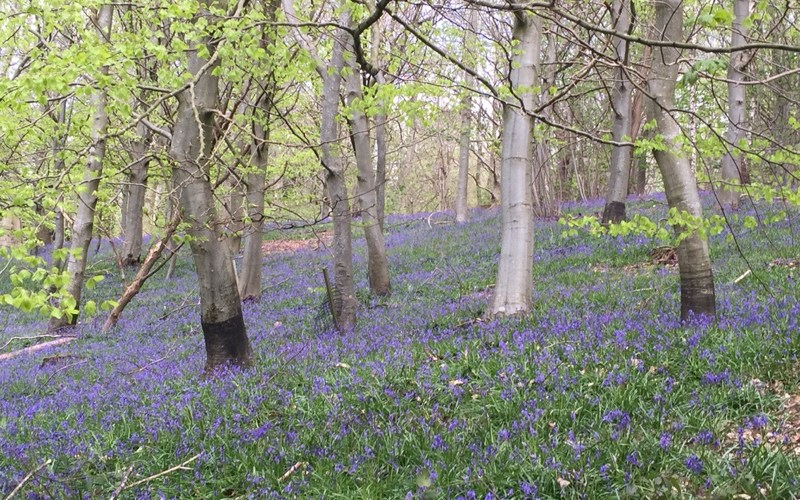 Darling British Bluebells at Chirk Castle | Wild & Wonderful Wales