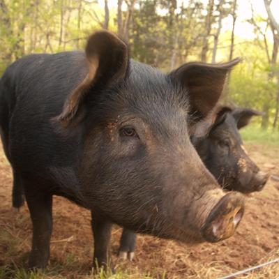 Range-raised Pork from Four Corners Farm