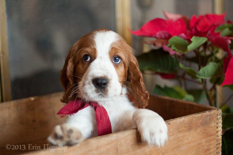 Image For Englisher Spaniels